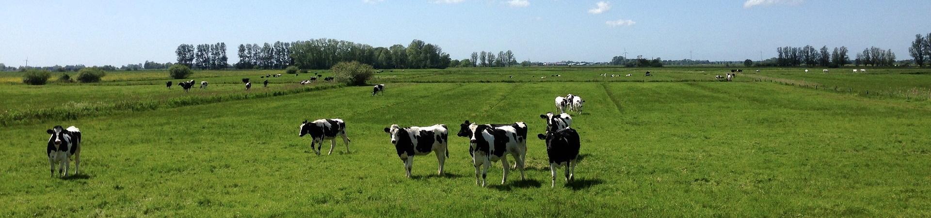 Nachhaltige Landwirtschaft im Bereich Rinderhaltung
