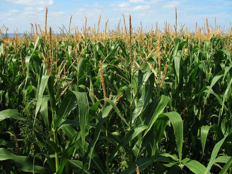 Nachhaltige Landwirtschaft im Maisanbau